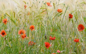 Wallpaper France, Maki, wheat field, flowers