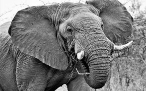 Picture elephant, leather, ears, tusks