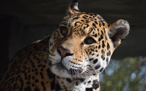 Picture Cat, Jaguar, Face, Animal