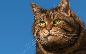 Wallpaper portrait, look, muzzle, background, kotofeich, important, cat