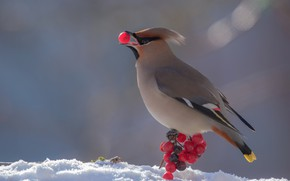 Picture bird, Kalina, crest, the Waxwing