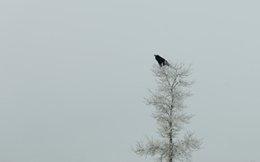 Picture nature, tree, minimalism, Raven