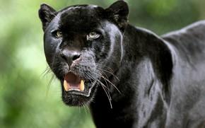 Picture look, face, Jaguar, fangs, wild cat, Black Panther