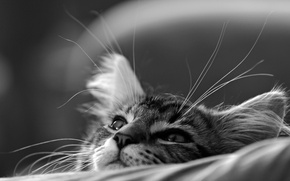 Wallpaper cat, cat, muzzle, black and white, kitty, monochrome, dreamer