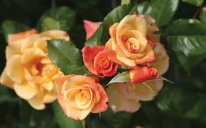 Picture macro, yellow, roses