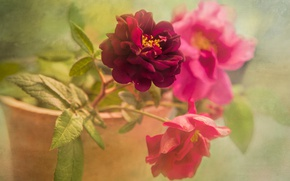 Picture leaves, flowers, green, background, bright, rose, roses, bouquet, petals, pot, pink, al, dissolution, composition, art …