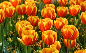 Wallpaper positive, buds, fire, two-tone, flowerbed, spring, flaming, field, water, tulips, bright, garden, orange, a lot, ...