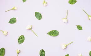 Picture green, roses, white, white, buds, flowers, beautiful, leaves, spring, decoration