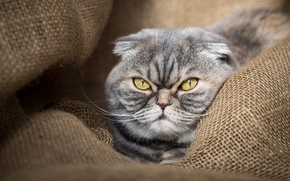Picture cat, eyes, cat, face, grey, background, portrait, striped, burlap, a stern look, Scottish, Scottish fold, …