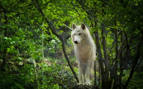 Picture greens, forest, white, summer, look, face, trees, branches, nature, foliage, wolf, paws, is, Arctic, polar