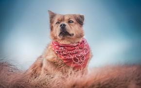 Picture grass, background, dog, bandana, dog