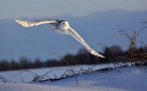 Picture flight, owl, bird
