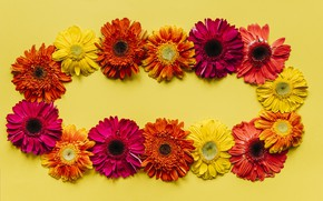 Picture flowers, gerbera, yellow background