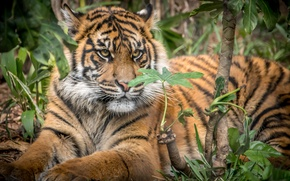 Wallpaper Sumatran tiger, cub, big cat, tiger