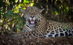 Picture look, predator, Jaguar, wild cat