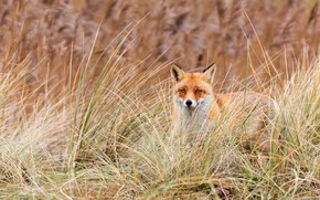 Picture grass, look, nature, background, Fox, red, face, Fox, blade