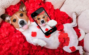 Picture dog, petals, red, love, rose, red rose, dog, romantic, funny, valentine, petals, phone