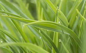 Picture grass, drops, green