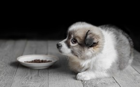 Picture animal, Board, dog, floor, puppy, food, saucer