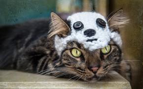Picture cat, cat, look, face, grey, background, model, hat, portrait, bear, mask, bear, Panda, lies, buttons, …