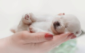 Picture dog, hands, baby, sleeping, puppy, Spitz