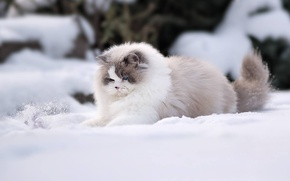 Picture winter, cat, snow, fluffy, Ragdoll