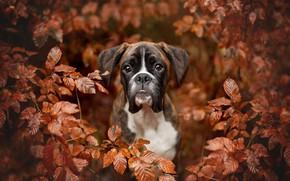 Picture autumn, look, face, leaves, branches, portrait, dog, Boxer