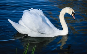 Picture white, water, lake, pond, bird, wings, ruffle, profile, white, Swan, pond, neck, blue background, floats, …