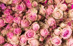 Picture flowers, roses, pink, buds, pink, flowers, beautiful, romantic, roses