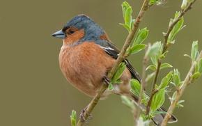 Picture sheet, bird, branch, beak, Chaffinch