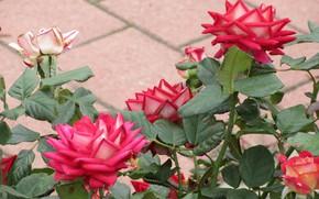 Picture autumn, Bush, roses, Meduzanol ©