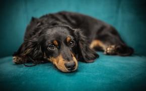 Wallpaper look, sofa, dog, muzzle, puppy, lies