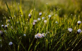 Picture bokeh, Daisy, dew on the grass