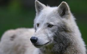 Picture white, face, close-up, background, wolf, portrait, Arctic, polar