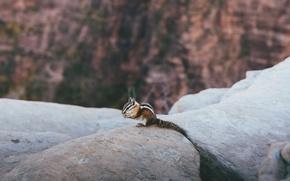 Picture animal, Chipmunk, striped