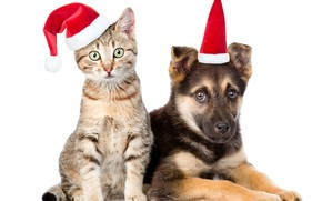 Picture cat, hat, dog, New year, 2018, shepherd