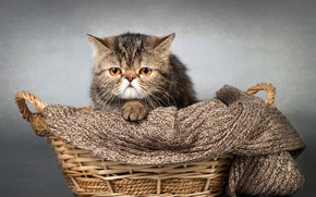 Picture cat, basket, scarf
