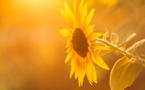 Picture summer, light, sunflower
