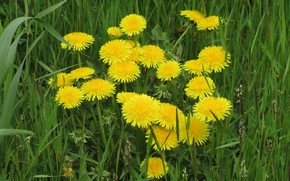 Picture grass, flowers, dandelions, spring 2018, Mamala ©