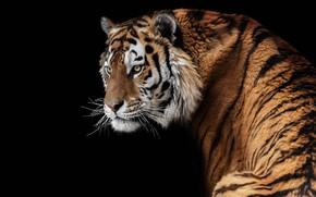 Picture tiger, predator, handsome, Amur