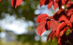 Picture autumn, leaves, the crimson