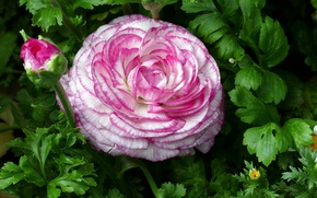 Picture macro, Ranunculus, motley, Buttercup