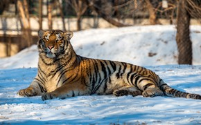 Picture winter, trees, tiger, predator, lies, bokeh, in the snow