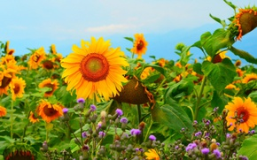 Picture Field, Field, Sunflowers, Podsolnuhi