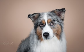 Wallpaper dog, look, portrait, Aussie, background, Australian shepherd, muzzle, photoshoot