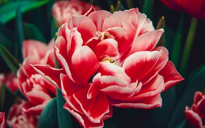 Picture flower, flowers, red, background, Tulip, beauty, Bud, tulips, al, lush, Terry, dohrety
