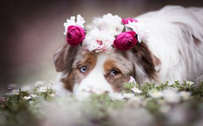 Picture look, face, flowers, dog, wreath, Australian shepherd, Aussie