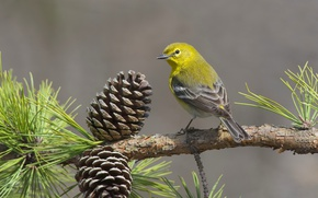 Picture birds, branch, bumps, pine, pine forest songster