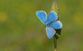 Picture macro, background, butterfly, a blade of grass, Blue beautiful