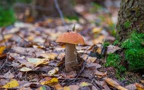 Picture leaves, mushroom, boletus
